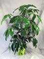 Arboricola Planter