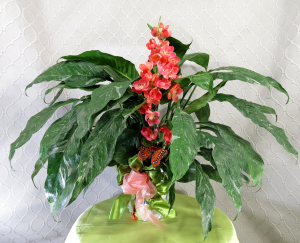 Apple Blossom Peace Lily