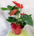 Red Hat Anthurium