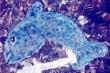Pequa Dolphin Arrangement