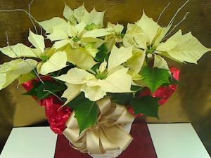 Pequa White Poinsettia Plant