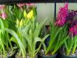 Spring Bulb Plants