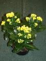 Blooming Plant - Kalanchoe