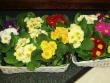 Blooming Plant - Primrose