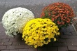 Blooming Plant - Mum - Hardy