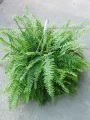 Green Plant - Boston Fern