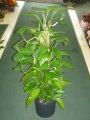 Green Plant - Pothos Pole