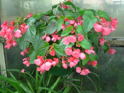 ANGEL WING BEGONIA PLANT