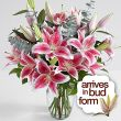 One Dozen Stargazers-THURSDAY SPECIAL PRICE