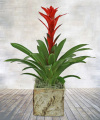 Bromeliad in Birch