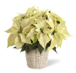 White Poinsettia-Small
