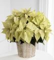 White Poinsettia-Large