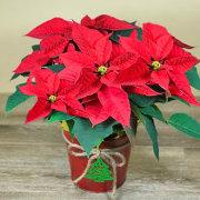 Festive Holiday Poinsettia