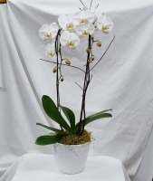 Double Stem White Orchid Plant