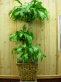 Corn (Mass Cane) Plant