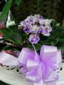Africian Violet 6inch Pot