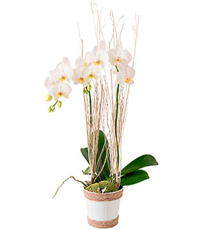 White phalaenopsis orchid plant (2 stems). Approx. Size may vary. Your purchase includes a complimentary personalized gift message. ""