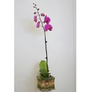 Orchid plant (purple)