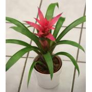 Blooming Bromeliad Tropical Plant