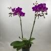 Phalaenopis Orchid