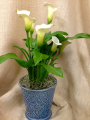 Potted Calla Lily