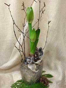 Oleander\'s Festive Amaryllis