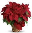 Teleflora's Red Poinsettia