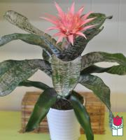 The Beretania Florist Large Bromeliad