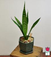 Beretania's Mini Mother-In-Law Tongue Plant
