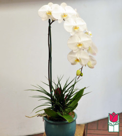 The BF Premium White Phalaenopsis Orchid in Ceramic