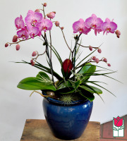 The BF Premium Double Phalaenopsis Orchid Planter