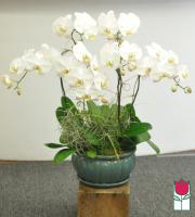Beretania's Premium 6 spray Phalaenopsis Orchid in Ceramic