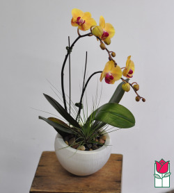 Mini Double Phalaenopsis Orchid Ceramic Planter - Yellow