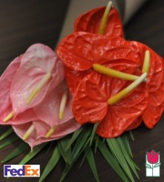 1 Dozen Large Anthurium