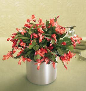 The FTD® Winter Delight™ Holiday Cactus