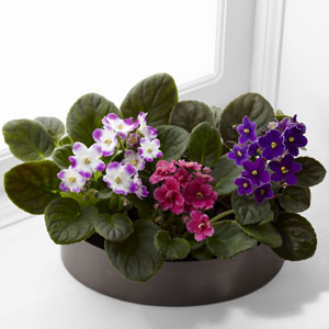 The FTD� African Violets