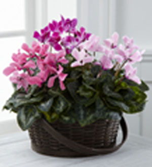 Flower house iii the ftd mixed cyclamen planter spring hill fl the ftd mixed cyclamen planter mightylinksfo