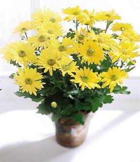 The FTD® Daisy Chrysanthemum (Large)