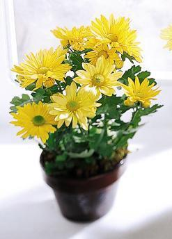 The FTD® Daisy Chrysanthemum (Small)