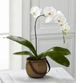 L'Orchidée Blanc Phalaenopsis™ de FTD®