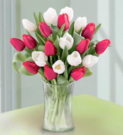 20 Stem Red & White Tulips with Vase