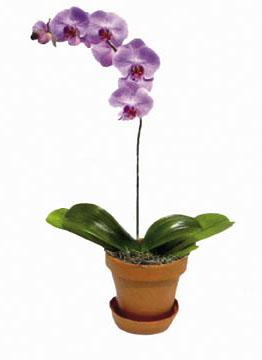 Phalaenopsis (without container)
