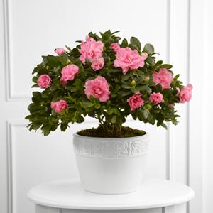 Le Planteur FTD® Sympathie Vibrante™