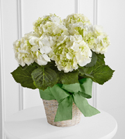 The FTD® White Hydrangea Planter