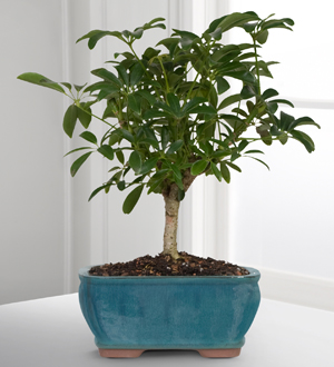 Kroger Dwarf Hawaiian Umbrella Tree Bonsai Cincinnati Oh 45202 Ftd Florist Flower And Gift Delivery