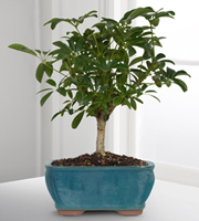 Dwarf Hawaiian Umbrella Tree Bonsai - Good