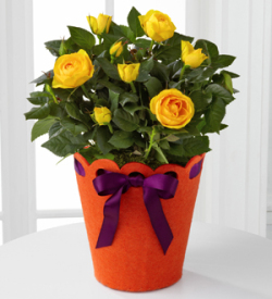 Celebration Starter Birthday Mini Rose Plant