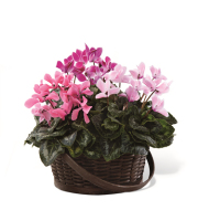 CYCLAMEN PLANT BASKET