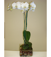 Single Phalaenopsis Orchid in glass