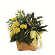 SYMPATHY PLANT GARDEN - YELLOW ACCENTS